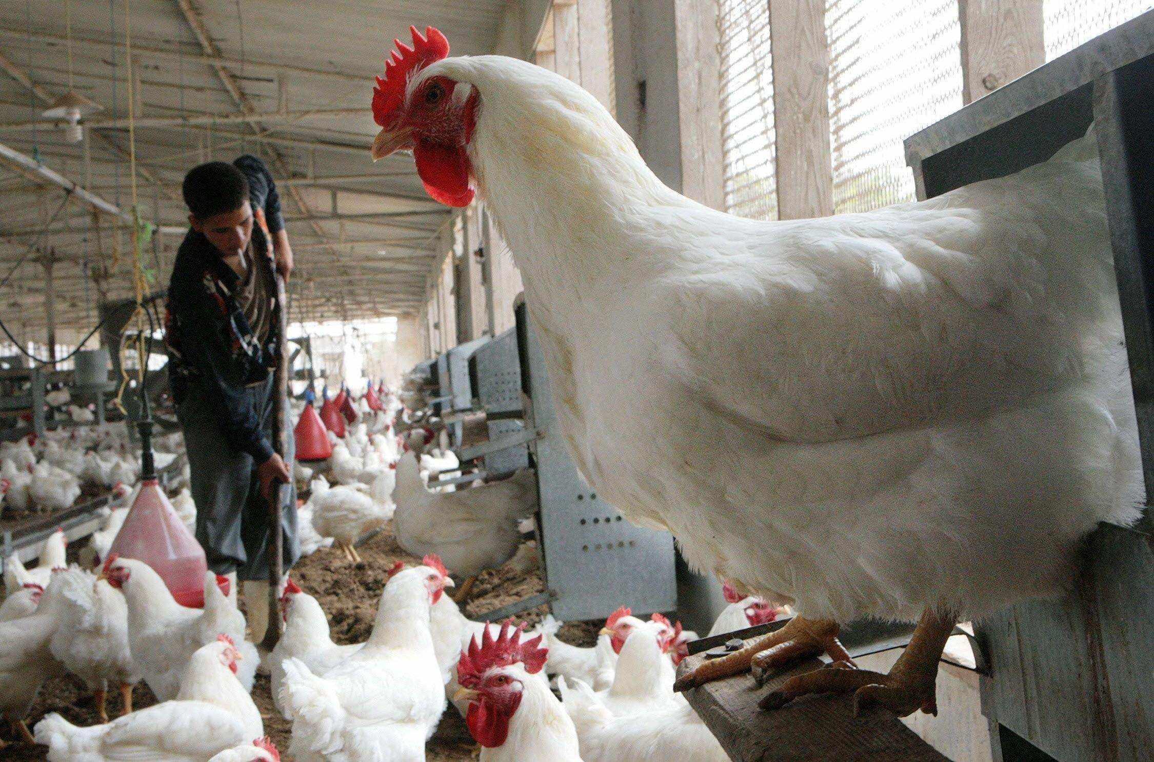 الكعود يطالب بمنع دخول الدجاج المستورد الى الأنبار