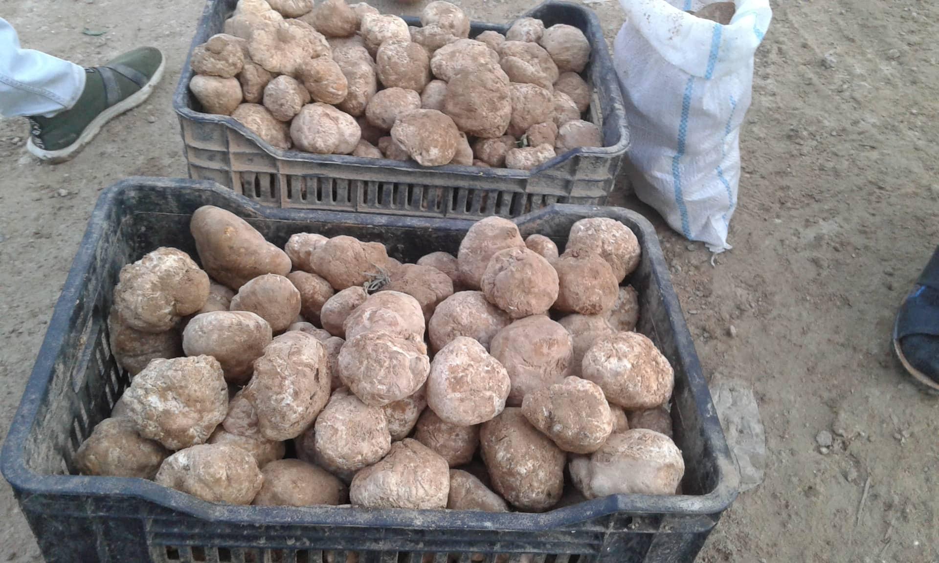 """الأنبار… سوق الكمأ في ناحية بروانة """"صور"""""""
